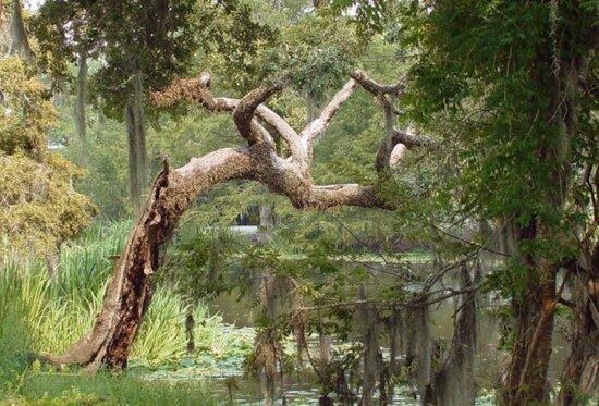 la pace, albero