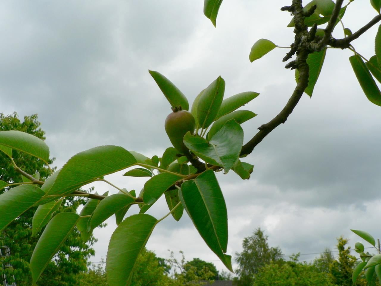 free picture pear tree branch