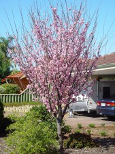 plum, tree, blossom, woodvale