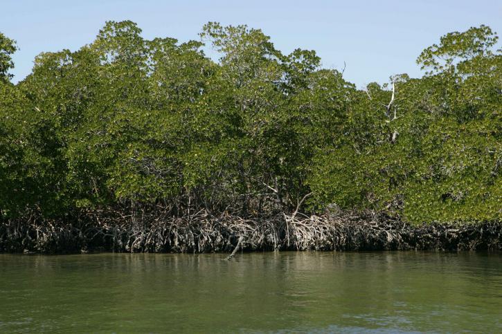 rosso, mangrovie, alberi, acqua, bordo