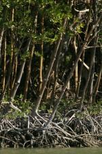 rosso, mangrovie, alberi, Rhizophora, mangano, in crescita, da vicino, insieme