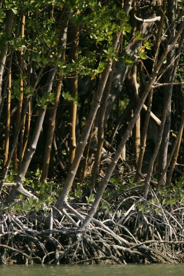red, mangrove, trees, rhizophora, mangle, growing, up-close, together