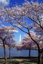 resplendent, cherry trees