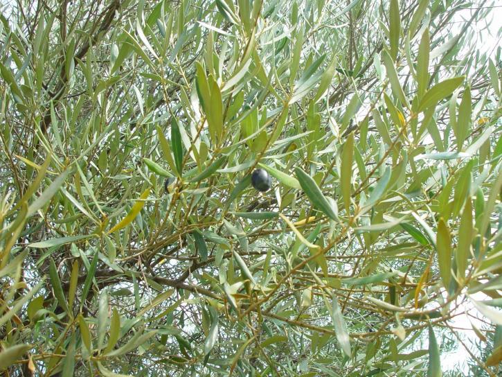 ripe, olive, lurking, leaves