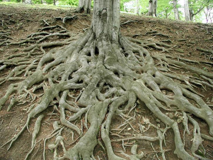 kökleri, büyük, eski, ağaç
