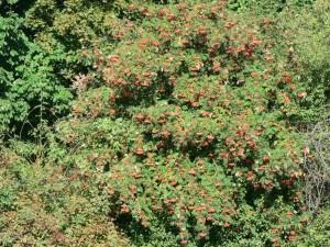 rowan, tree, berries
