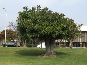 rubber, tree