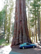 sequoia, car, tree