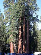 sequoia, tree