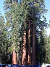 Sequoia, cây