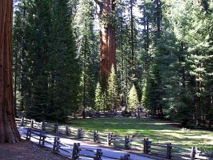 sequoia, trees, woods
