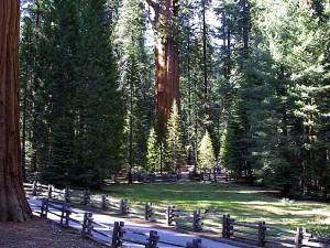Sequoias, cây, rừng