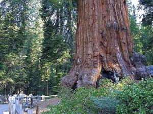 Sequoias, forrest