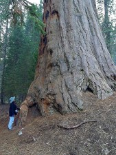 sequoias, trees, giants