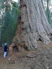 Sequoias, cây, người khổng lồ