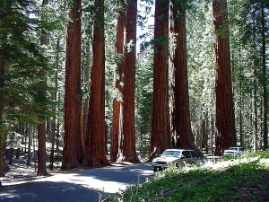 tree, sequoia, park
