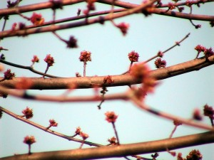 silver, maple, tree, buds