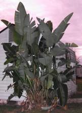 kind, tropical, tree