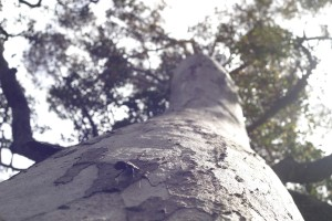 høy, tyggegummi, tree, insekt, porongurup