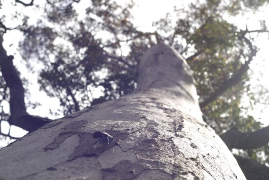 tall, gum, tree, insect, porongurup