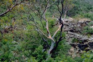 texas, madrone, plant, tree, arbutus, xalapensis, arbutus, texana