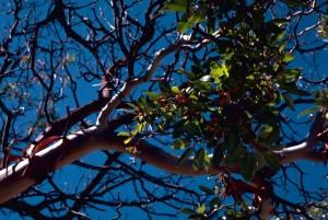 Texas menziesii, strom, arbutus, xalapensis