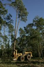 thin, pine, trees