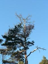 top, mourant, arbre