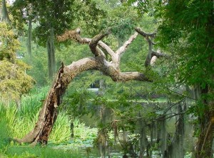 tree, amelia