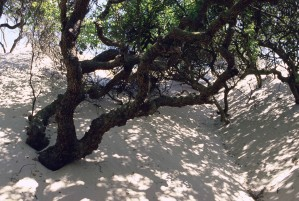 albero, sabbia, dune