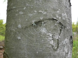 дерево, ствол