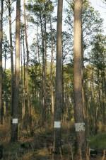 trees, picoides, borealis