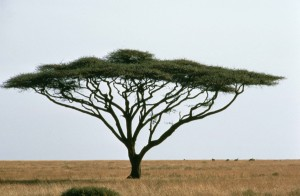 parapluie, épine, acacia, israelienne, Babool, arbre, plante, acacia, Tortillis