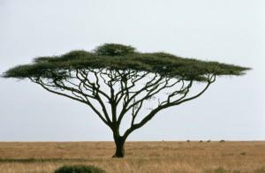 umbrella, thorn, acacia, israeli, babool, tree, plant, acacia, tortillis
