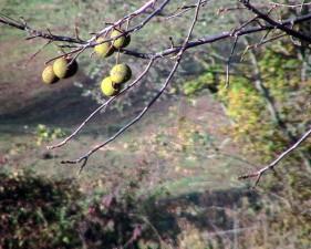 noix, automne, arbre