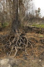 wildfire, damage, tree, roots