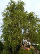 willow, tree