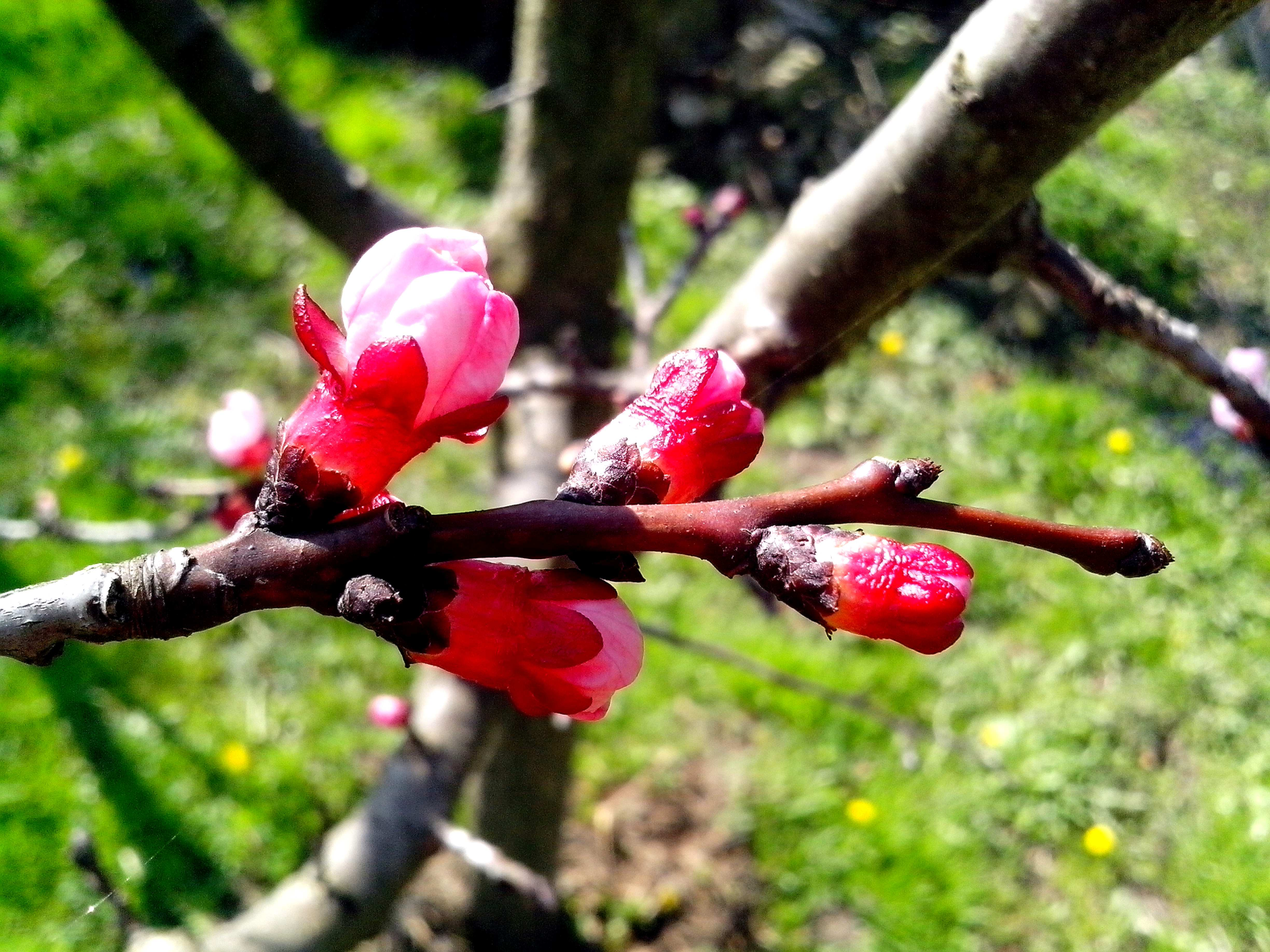 Free photograph; young, pink, apple, buds