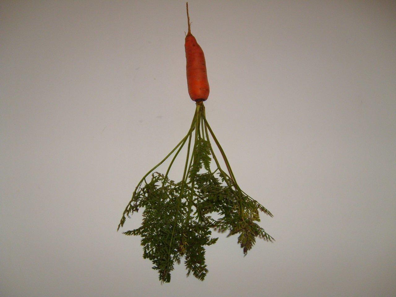 Image libre carotte l gume fond blanc - Arbre a faible racine ...