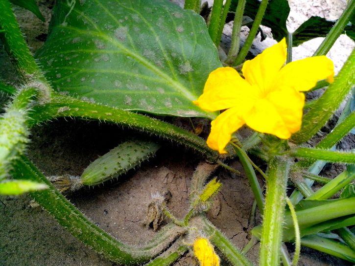 cucumber, vegetable, flower