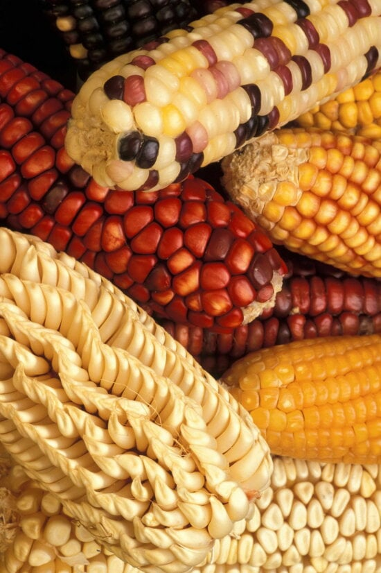 genetically, modified, corn