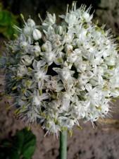 семена лук