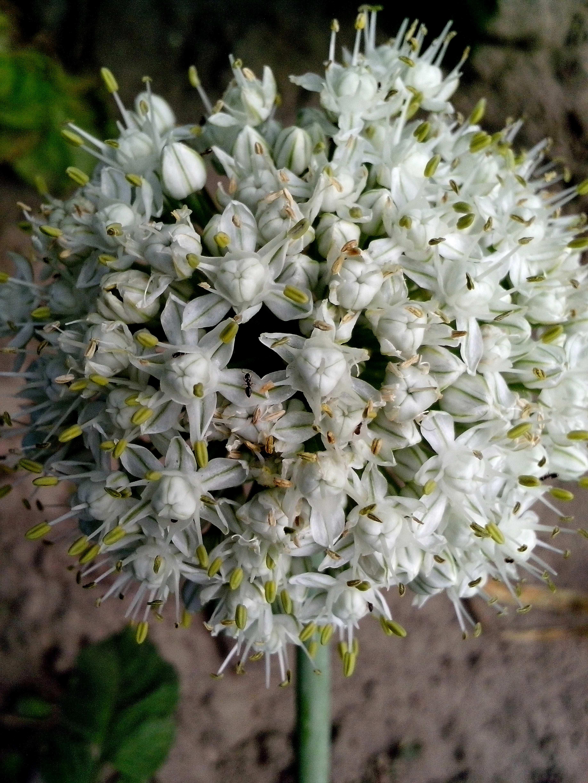 Free photograph; seeds, onion