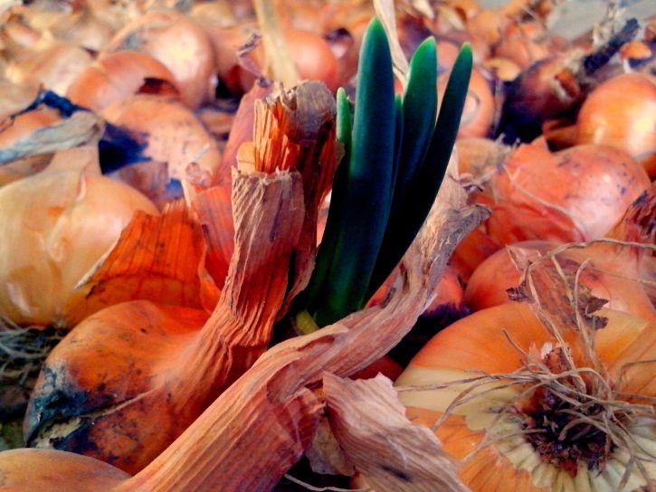 germinazione, cipolla, vicino