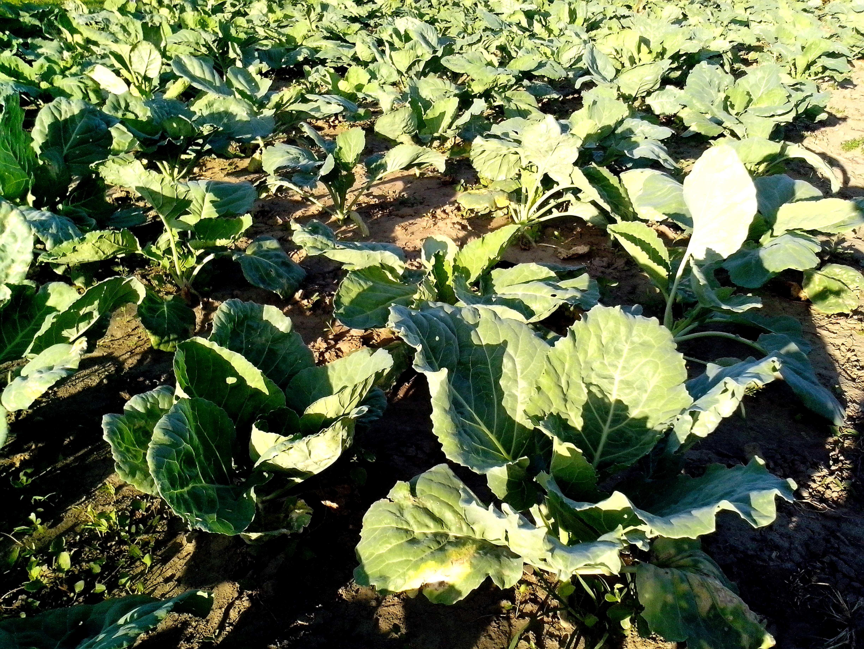 Free photograph; organic, cabbage