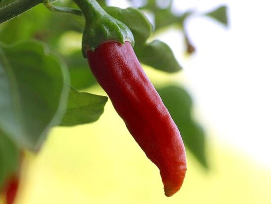 chili, chillies, peppers
