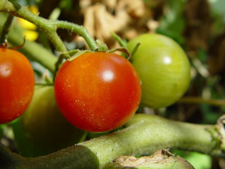 cherry, tomatoes, plant