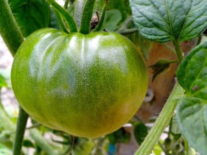 vert, tomate, tige