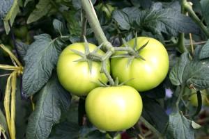 tomat, vinranker, drivhus, grønn, tomater