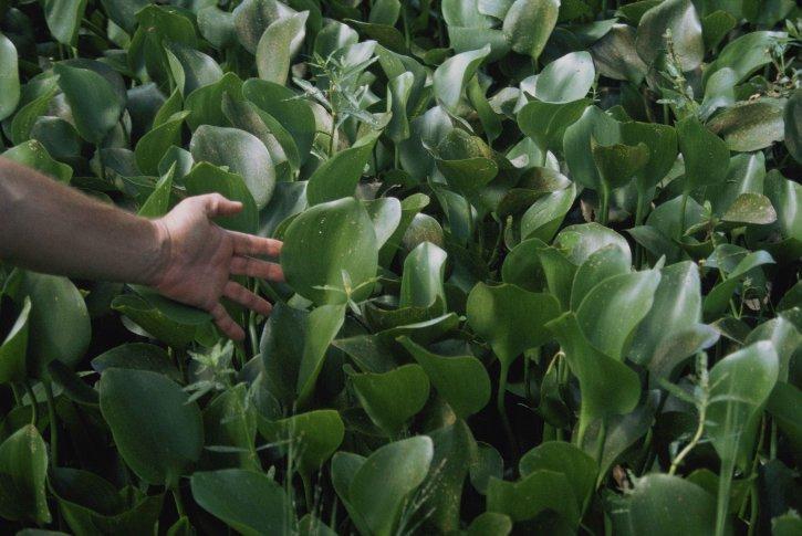 eau, jacinthe, feuilles, Eichhornia crassipes,